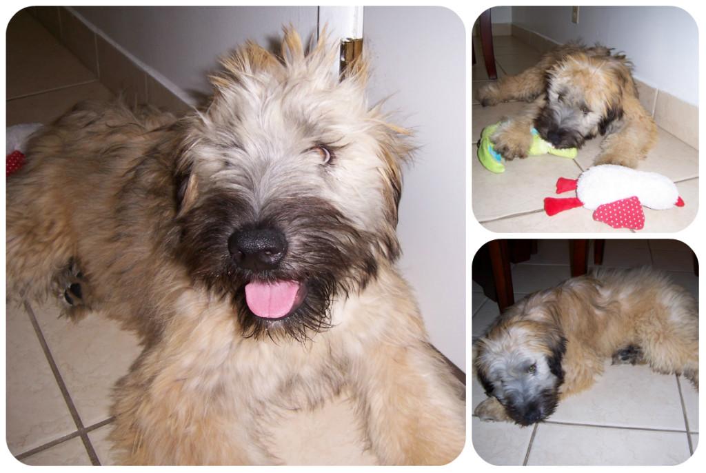 Alfie Wheaten Terrier